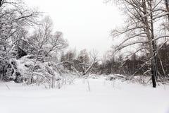 Снег покрыл деревья стоя на краю леса стоковые фотографии rf
