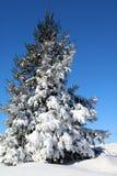 Снег покрыл елевое дерево на спокойный солнечный зимний день стоковое изображение