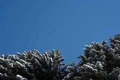 Снег покрыл ель сосны и небо зимы Blule Стоковое Фото