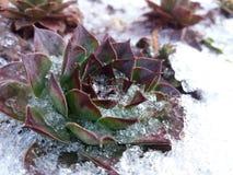 Снег покрыл зиму houseleek, succulents стоковые фотографии rf