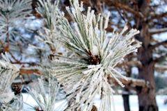 Снег покрыл иглы сосны в зиме стоковая фотография rf