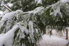 Снег покрыл иглы сосны стоковое изображение