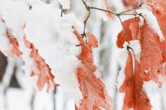 Снег покрыл кленовые листы Стоковое Изображение RF
