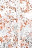 Снег покрыл лес клена Стоковое Фото
