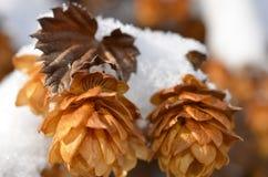Снег покрыл лозы хмелей стоковое фото