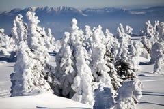 Снег покрыл сосны в высоких горах Стоковые Фотографии RF