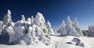 Снег покрыл сосны в высоких горах Стоковая Фотография RF