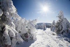 Снег покрыл сосны в высоких горах Стоковое Фото