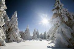 Снег покрыл сосны в высоких горах Стоковая Фотография