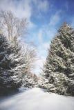 Снег покрыл хвойные деревья на яркий солнечный день стоковые фотографии rf