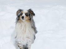 Снег покрыл австралийского чабана Стоковые Фотографии RF