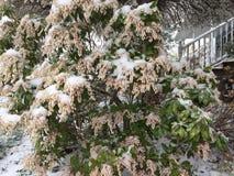 Снег покрыл весеннее время куста Стоковое Фото