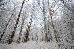 Снег покрыл ветви дерева зимы Стоковое Изображение RF