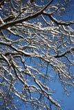 Снег покрыл ветви дуба Стоковая Фотография RF