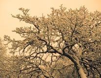 Снег покрыл ветви дуба Стоковое Изображение