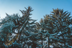 Снег покрыл вечнозеленые деревья в лесе в зиме Стоковые Изображения RF