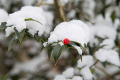 Снег покрыл дерево падуба Стоковое Фото