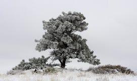 Снег покрыл дерево Стоковое Фото