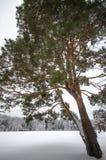 Снег покрыл деревья зимы Стоковое Изображение