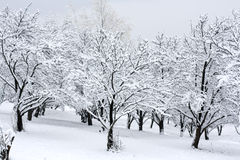 Снег покрыл деревья Стоковые Изображения