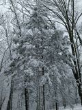 Снег покрыл кедр Стоковое Изображение