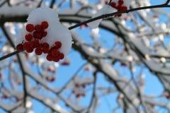 Снег покрыл красные ягоды в зиме Стоковые Изображения