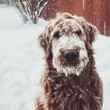 Снег покрыл собаку Стоковое Изображение RF