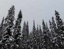 Снег покрыл сосновый лес на туманный день Стоковые Изображения
