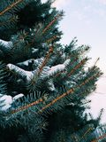 Снег покрыл сосну Стоковые Фото