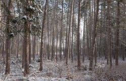 Снег покрыл сосны - красивые леса вдоль сельских дорог Стоковые Фотографии RF