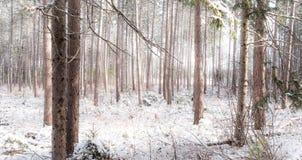 Снег покрыл сосны - красивые леса вдоль сельских дорог Стоковые Изображения