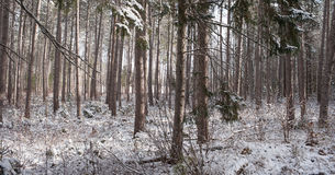 Снег покрыл сосны - красивые леса вдоль сельских дорог Стоковое Фото