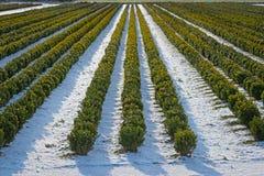 Снег покрыл строки в питомнике с ваяемым boxwood Стоковые Фотографии RF