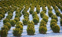 Снег покрыл строки в питомнике с ваяемым boxwood Стоковые Изображения RF