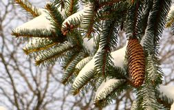 Снег покрыл pinecones в зиме Стоковая Фотография RF