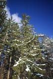 Снег предусматривал ель с предпосылкой голубого неба Стоковые Изображения