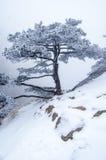 Снег-сосна Стоковые Изображения