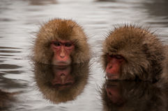 Снег monkeys наслаждаться onsen в префектуре Nagano, Японии Стоковое Изображение RF