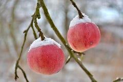 Снег na górze яблок на дереве Стоковые Изображения RF