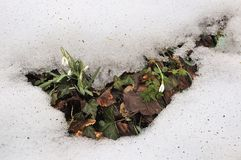 Снег + snowdrops Стоковые Фото
