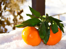 Снег Tangerines яркий оранжевый Стоковое Фото