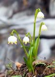 Снежинка весны, снежинка лета или лилия Loddon Стоковые Фотографии RF