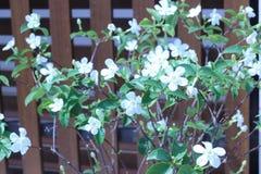 Снежинка или цветок antidysenterica wrightia Стоковые Фотографии RF