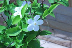 Снежинка или цветок antidysenterica wrightia Стоковое Изображение RF