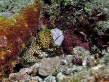 снежинка moray стоковые изображения rf