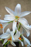 Снежк-белые лилии Стоковые Изображения RF