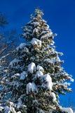 Снежная ель с большими конусами сосны в ландшафте зимы стоковая фотография