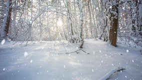Снежности в пуще