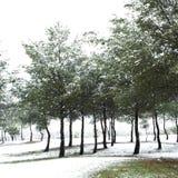 Снежности в соснах зима солнца природы пущи стоковое фото rf