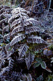 Снежности на листьях, Dzuluk, Сиккиме стоковое фото rf